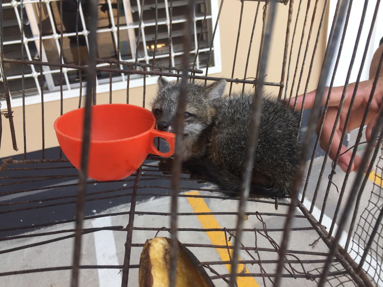 MP recupera un zorro gris que se encontraba en cautiverio en Siguatepeque