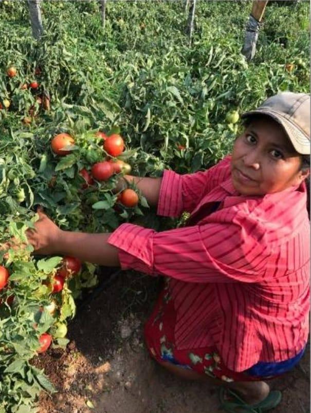 270 familias siembran granos básicos, hortalizas y papa en Lempira, Intibucá y La Paz