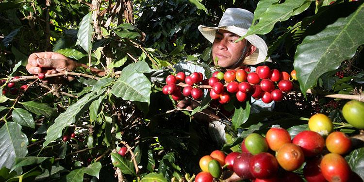 Exportadores y caficultores agradecen al Gobierno por la entrega del Bono Cafetalero
