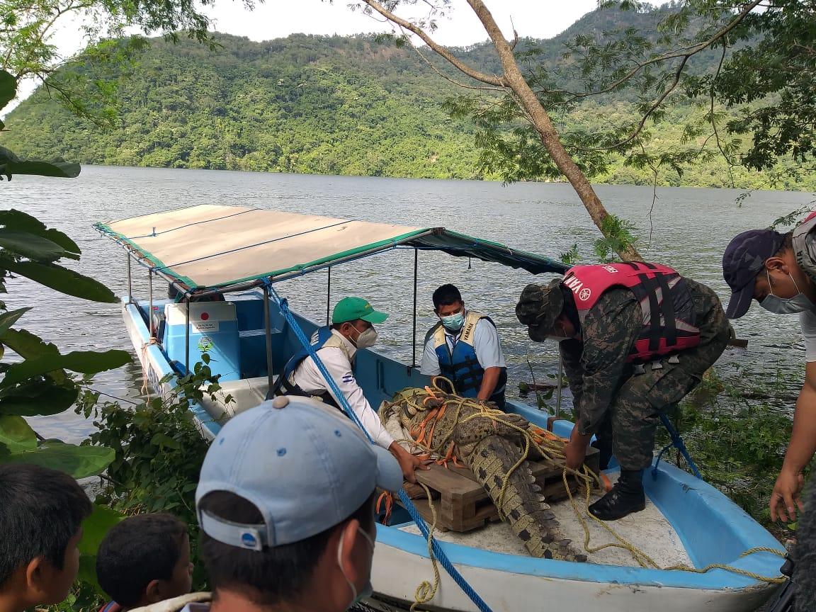 Liberan cocodrilo capturado en San Nicolás, Comayagua en la represa «El Cajón»
