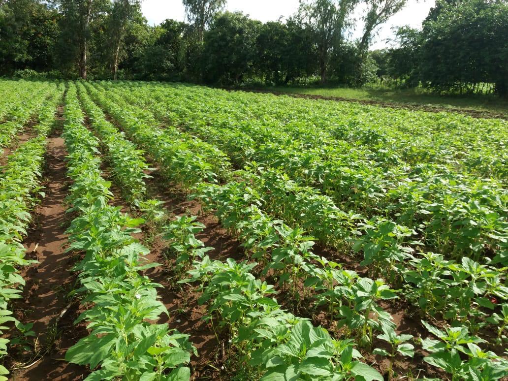 Con variedades propias incrementarán producción de ajonjolí