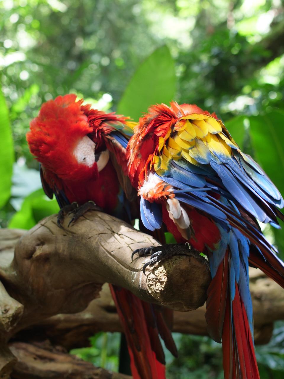 6 guaras rojas serán liberadas durante el Guacamaya Fest en Copán Ruinas