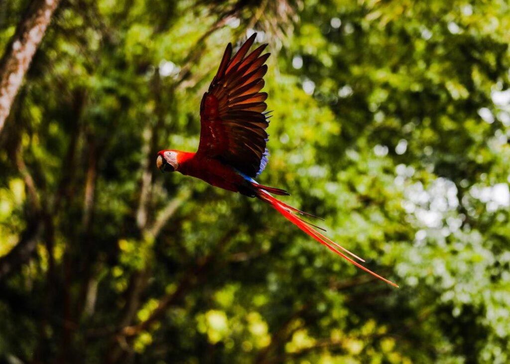 Mo, la guara roja que promueve la protección de su especie